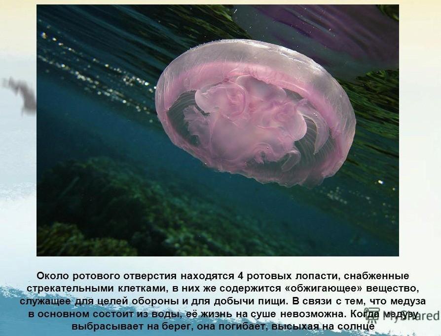 Тело медузы