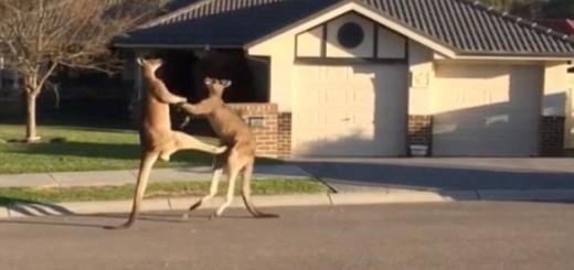 Kangaroos get into boxin