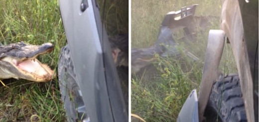 Мужчина снял видео, крокодил против внедорожника. Он случайно заметил аллигатора в траве, и решил напугать его своим автомобилем. Но не тут то было))