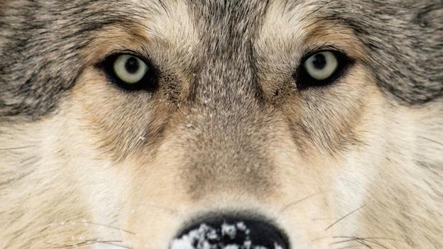 Волки спасли знаменитый Йеллоустонский парк