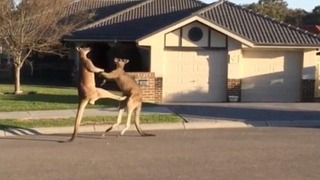 Смешная драка кенгуру на улице Австралии