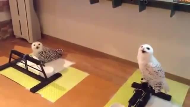 Смех совы просто поражает, посмотри это видео и хорошее настроение обеспечено на целый день.