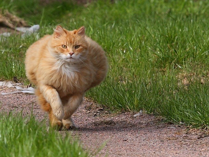 улетное видео, как жирный кот, вернувшись с прогулки не может попасть в дом. Не нужно чересчур баловать своего питомца, а то такое может произойти и с ним.