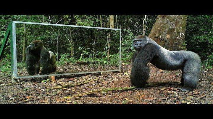 Что будет если останутся на едине дикие животные и зеркало, огромное зеркало? Реакция у животных получилась очень не предсказуемой