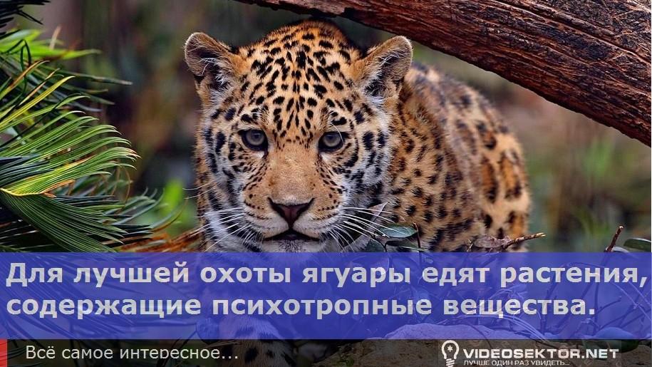 jaguar_Fact_2