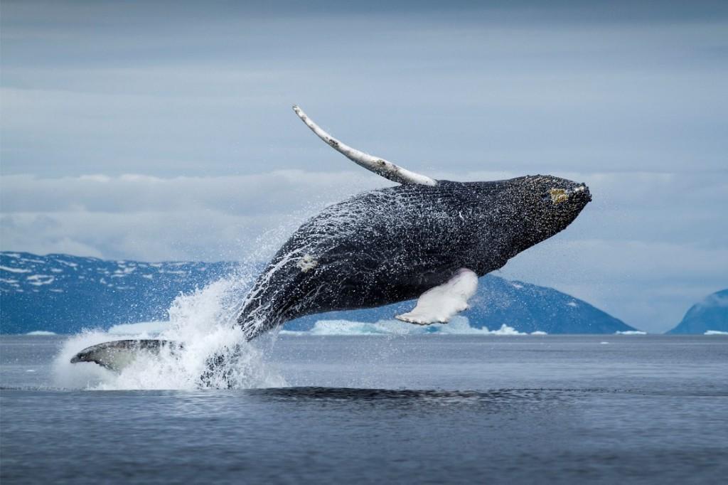 Гренландский-кит676