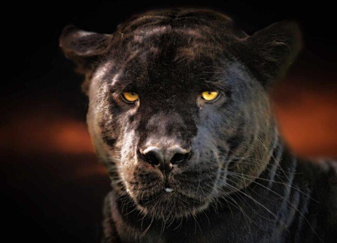 голова черной пантеры