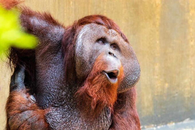 лицо орангутана