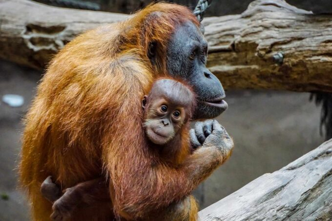 семья орангутангов