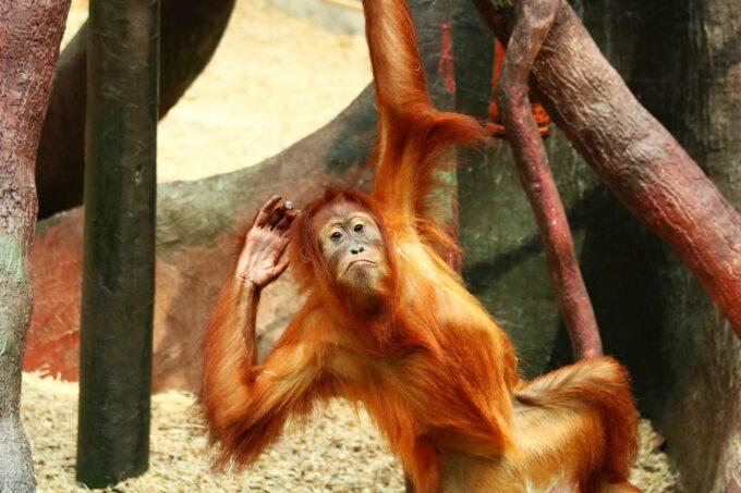 древесная обезьяна