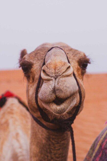 верблюжья голова